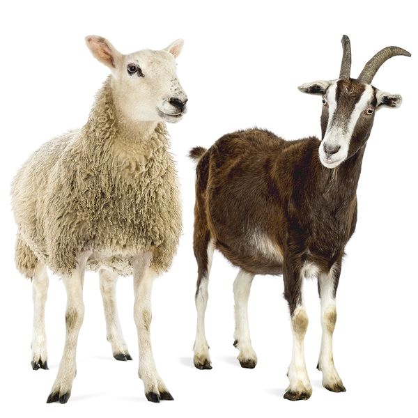 Sheep and Goats – a picture
